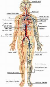 Blood Vessels Body