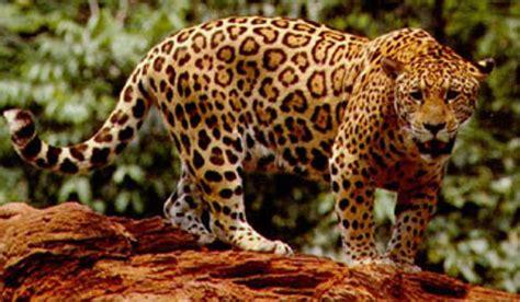Leopardos Y Jaguares
