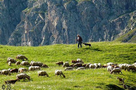 le berger wick problems le berger troupeau et chien a photo from rhone