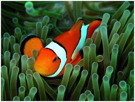 pin poissons clown on pinterest