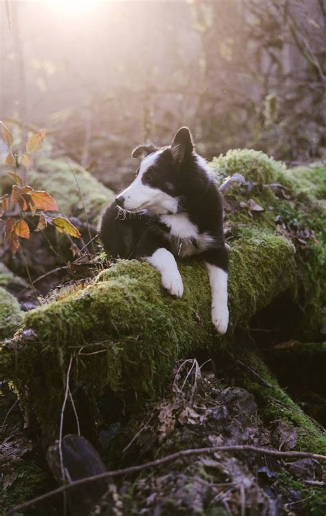 17 images about border collie on border