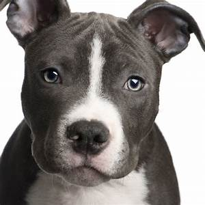 PUPPY CARE CENTER: American Pit Bull Terrier Dog Puppy ...