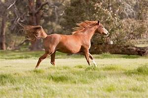 Arabian Horse Running Drawings
