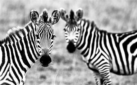 Cool Baby Animal Wallpapers Wallpapers Zebra Wallpapers