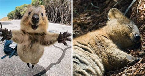selfies   happy quokka   banned