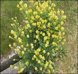 montvertcom moutarde des champs mauvaise herbe With tapis champ de fleurs avec canapé arrondi panoramique