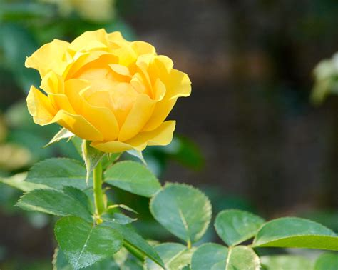 Beautiful yellow rose - Birds and Blooms