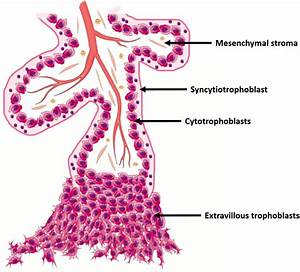 Human Trophoblasts Are Primarily Distinguished From