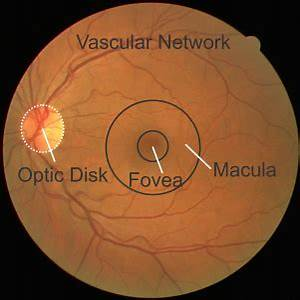 Retina Image Features Such As Fovea  Macula  Optic Disk