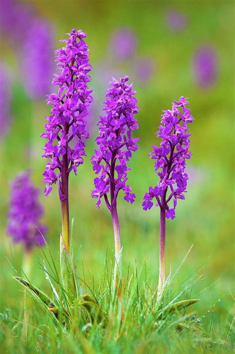 Early Purple Orchid (orchis Mascula) Photograph by Alex Hyde