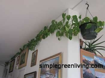 Our Philodendrons, House Plants Going Wild