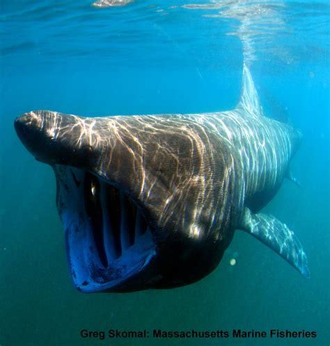 bc shark and skate reports basking sharks