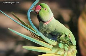 Image Gallery indian ringneck parakeet