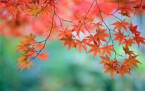 Ahorn Rote Blätter : sch ne rote ahorn bl tter zweige japanisch hintergrundbilder natur und landschaft ~ Eleganceandgraceweddings.com Haus und Dekorationen