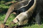 Giant Anteater   Animals Wiki   Fandom powered by Wikia