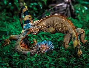 Fighting iguanas are real-life Game of Thrones dragons ...