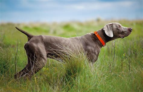 Do Haired Weimaraners Shed by Pointing Breed Of The Week The Weimaraner Part 1