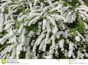 Weiß Blühender Strauch : wei er bl hender strauch stockfoto bild 54344064 ~ Lizthompson.info Haus und Dekorationen