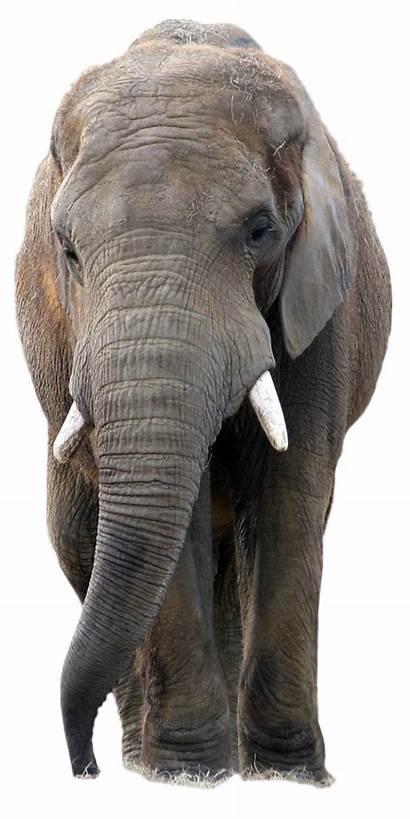 Elephant African Elephants Asian Bush Transparent Forest