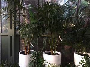 Howeia Forsteriana (Common Name – Kentia Palm) 200mm Pot ...