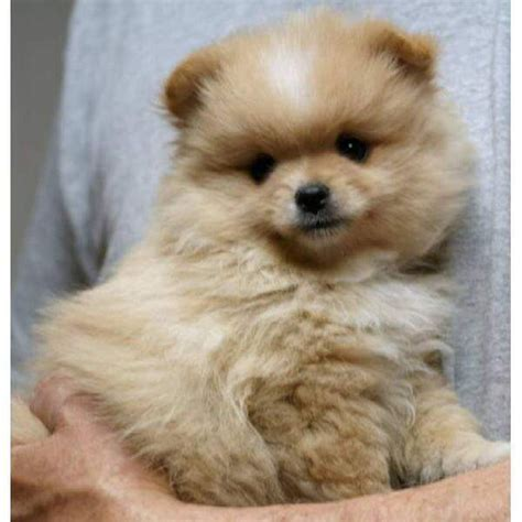 pomeranian puppies  sale spruce street