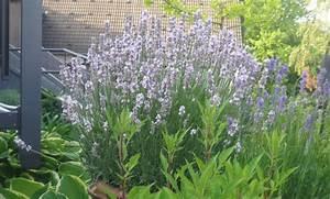 Lavendel Pflanzen Im Topf : lavendel im topf ~ Frokenaadalensverden.com Haus und Dekorationen