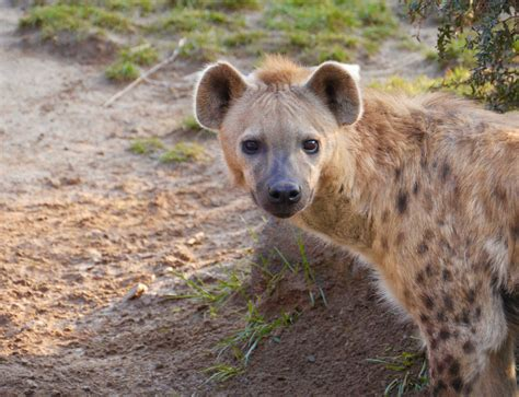 carnivores hyena spotted facts
