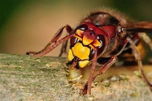Wie Vertreibe Ich Wespen : hornissennest entdeckt hornissen sicher vertreiben ~ Orissabook.com Haus und Dekorationen