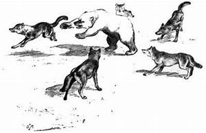 Adolph Murie speculated on dog-wolf hybridization as the ...
