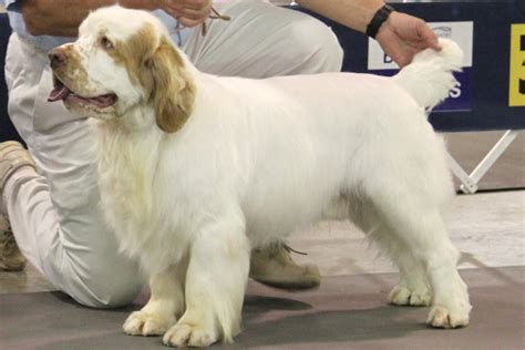 clumber spaniel breed information clumber spaniel images