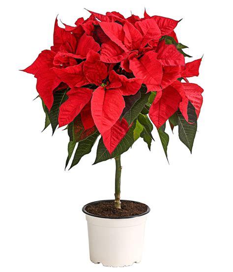 weihnachtsstern pflanze deko weihnachtsstern st 228 mmchen dehner