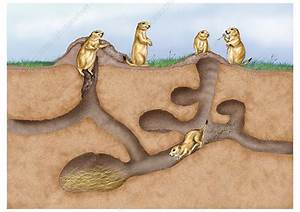 Prairie Dog Colony - Stock Image Z932  0460