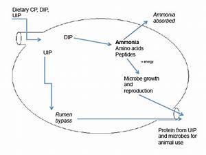 Understanding The Ruminant Animal Digestive System
