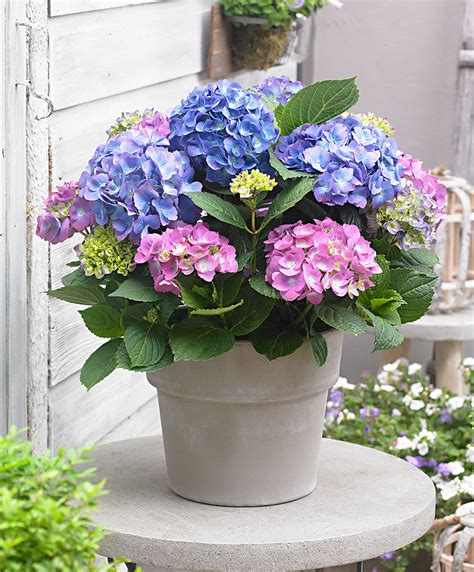 Buy ornamental shrubs now Hydrangea 'L.A. Dreamin