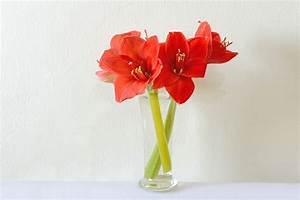 Amaryllis In Der Vase : amaryllis in der vase so bleibt der ritterstern l nger ~ Lizthompson.info Haus und Dekorationen