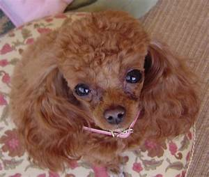 Red teacup poodle adult. | Teacup Poodles
