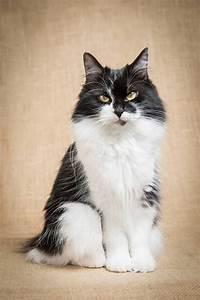 Best 25+ American bobtail ideas on Pinterest | Bobtail cat ...