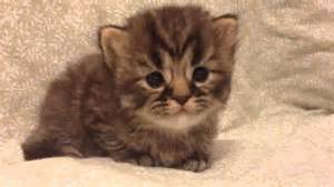 teacup cats teacup golden tabby kitten for from