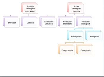 cell transport graphic organizer  mw resources tpt