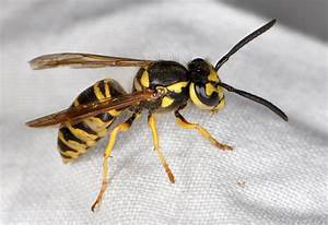 Ncsu Pdic  Are Asian Or Japanese Giant Hornets In The United States