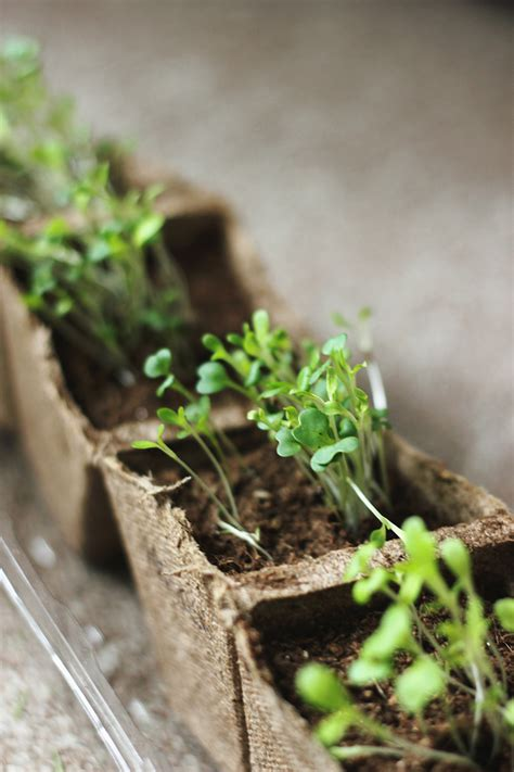 grow greens how to grow microgreens 187 the merrythought