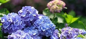 Hortensien Wann Pflanzen : pflanzen f r balkon und garten ~ Lizthompson.info Haus und Dekorationen