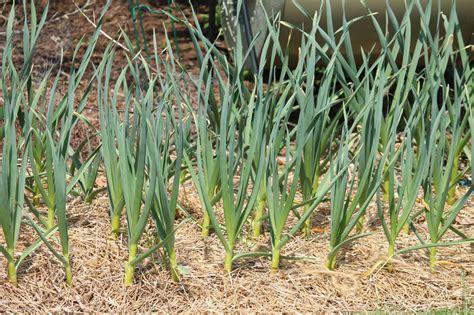 california white garlic seed bulbs for planting 3