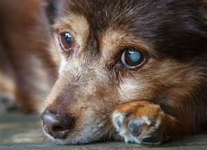 Dog Cataract Treatments - Cataracts in Dogs Diagnosis | petMD