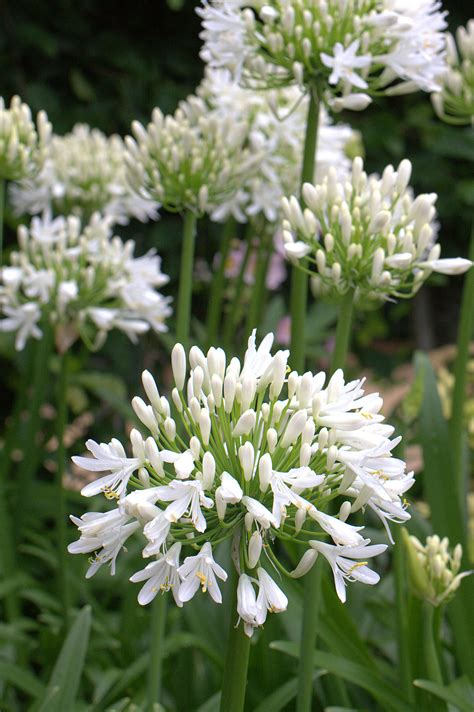 white agapanthus varieties huge white flower heads composed of masses of pure white florets evergreen needs some winter
