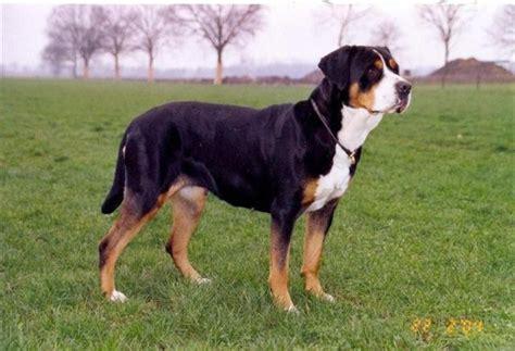 grote zwitserse sennenhond hond te koophond te koop