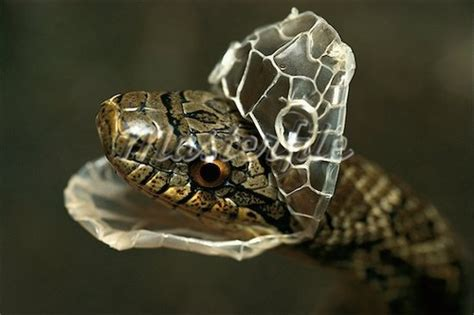 Snake Skin Shedding Use by Moulting Writing Into The Light