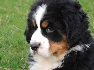 Bernese mountain dog puppy | Kidwelly, Carmarthenshire ...