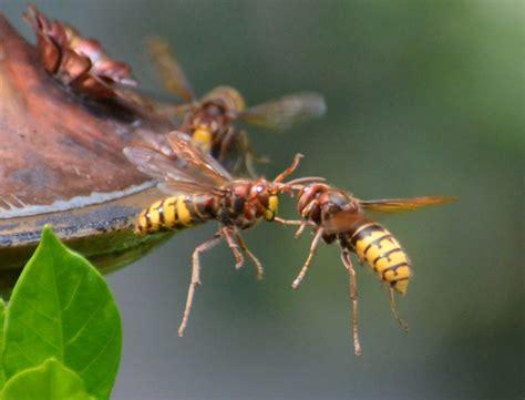 european hornets  hummingbird feeder whats  bug