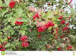 Busch Mit Roten Beeren : der strauch mit hellen roten beeren von viburnum stockfoto bild von hell gr n 81967104 ~ Orissabook.com Haus und Dekorationen